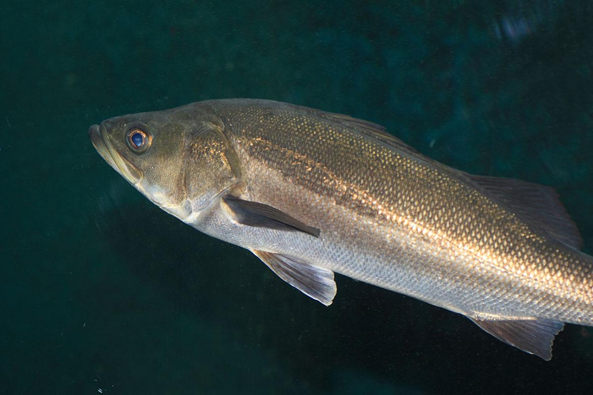 Japanese Sea Bass
